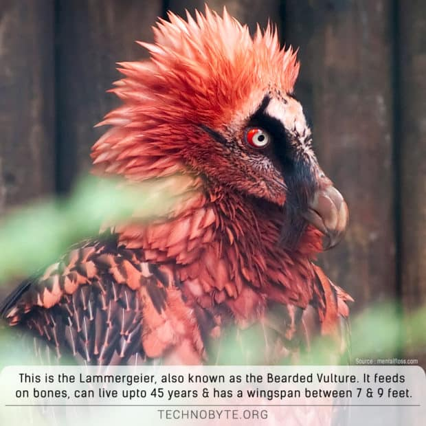 lammergeier-bearded-vulture-fact