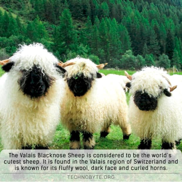 Valais Blacknose -Sheep-aka-worlds-cutest-sheep interesting animals