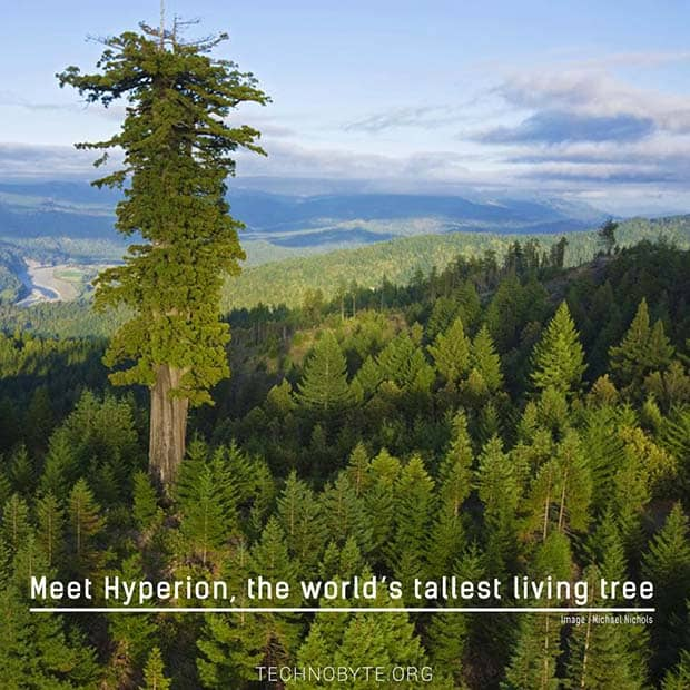interesting facts- tallest tree in the world - hyperion